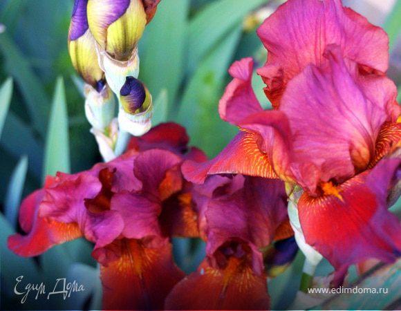 Ирис - цветок, окутанный мифами и легендами...