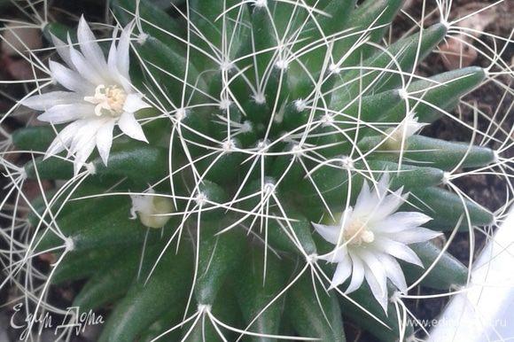 А это мой кактус, радует цветочками!