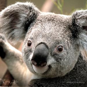 Koala La