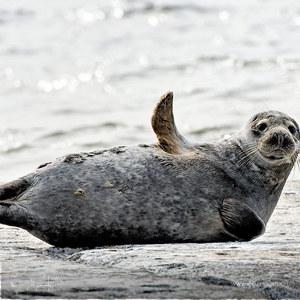 Тюленьчик
