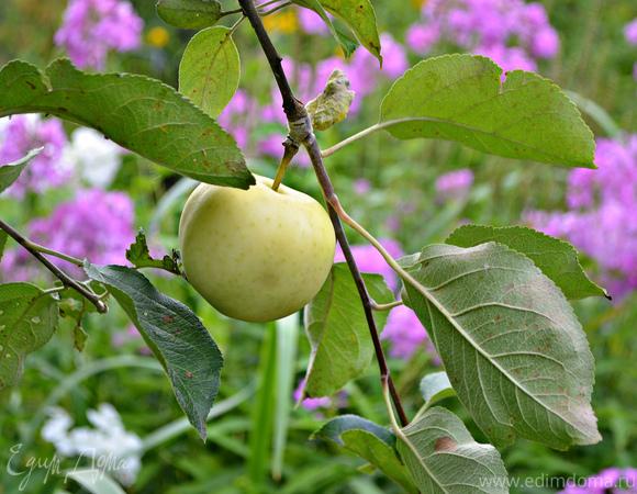 Яблоки, фаршированные карамелизированной сливой
