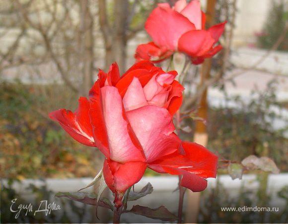 Скоро зима, а у меня во дворе цветут ромашки и розы