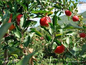 Георгий Примаков и его яблочные сады