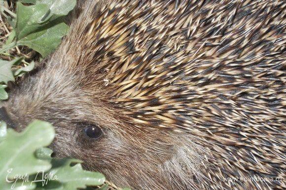 А вот такой красавец Ёж,пожаловал к нам в сад. Любезно попозировал и отправился дальше. Симпатяга!!!!