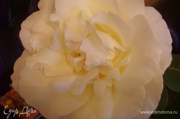 Одна из наших роз в этом году. Дарю её Вам!