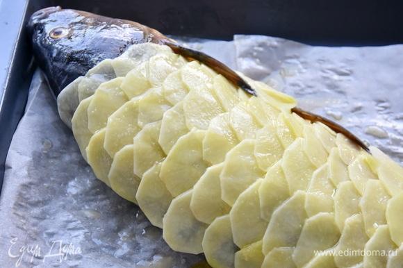 Рыбу уложить на противень, выстеленный пергаментной бумагой, стороной с кожей вниз, выложить картофельные ломтики, создавая эффект рыбной чешуи. Сверху картофель еще раз сбрызнуть небольшим количеством масла.